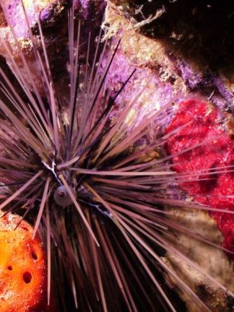 urchin ball