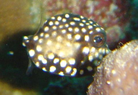 juve trunk fish