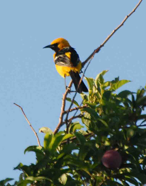 Yellow Oriole in Tree