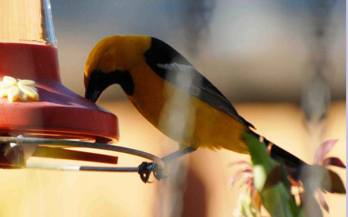 Yellow Oriole at Feeder